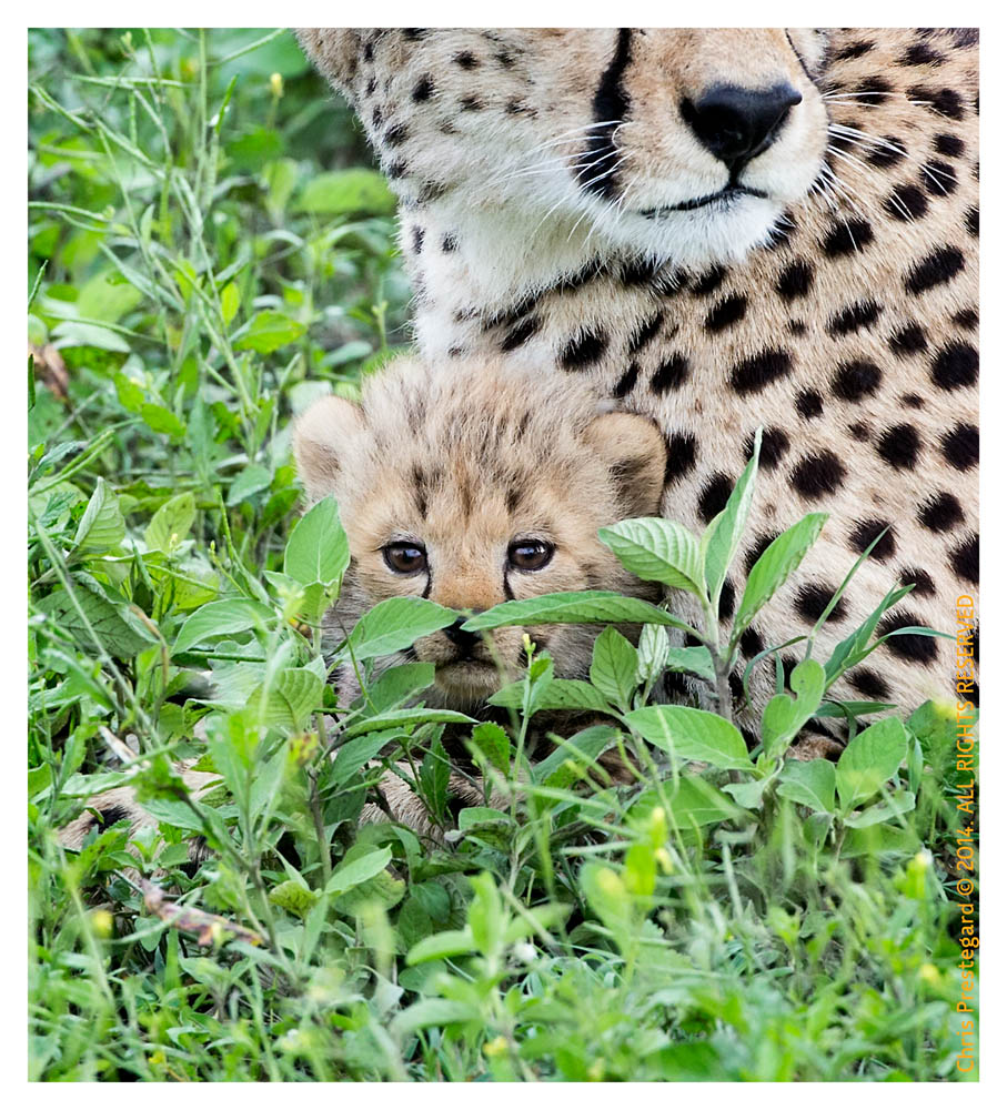 CheetahCub5948-Apr22-2014