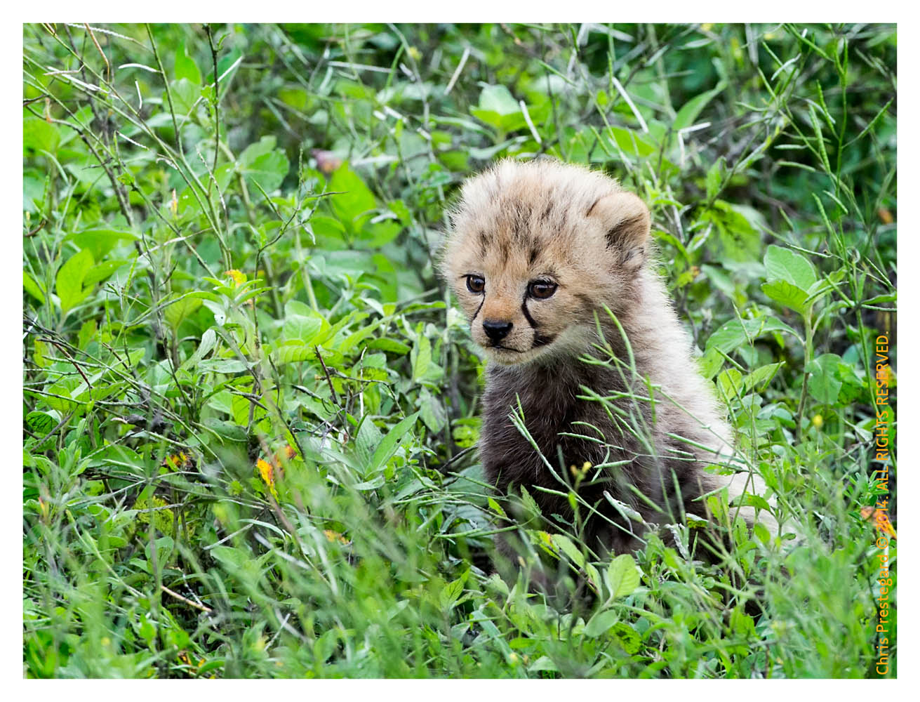CheetahCub6237-Apr22-2014