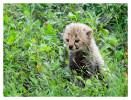CheetahCub6237-Apr22-2014