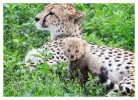 CheetahCub6487-Apr22-2014
