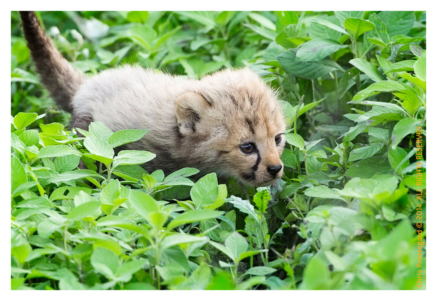 CheetahCub6600-Apr22-2014