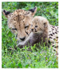 CheetahCub6897-Jun10-2014