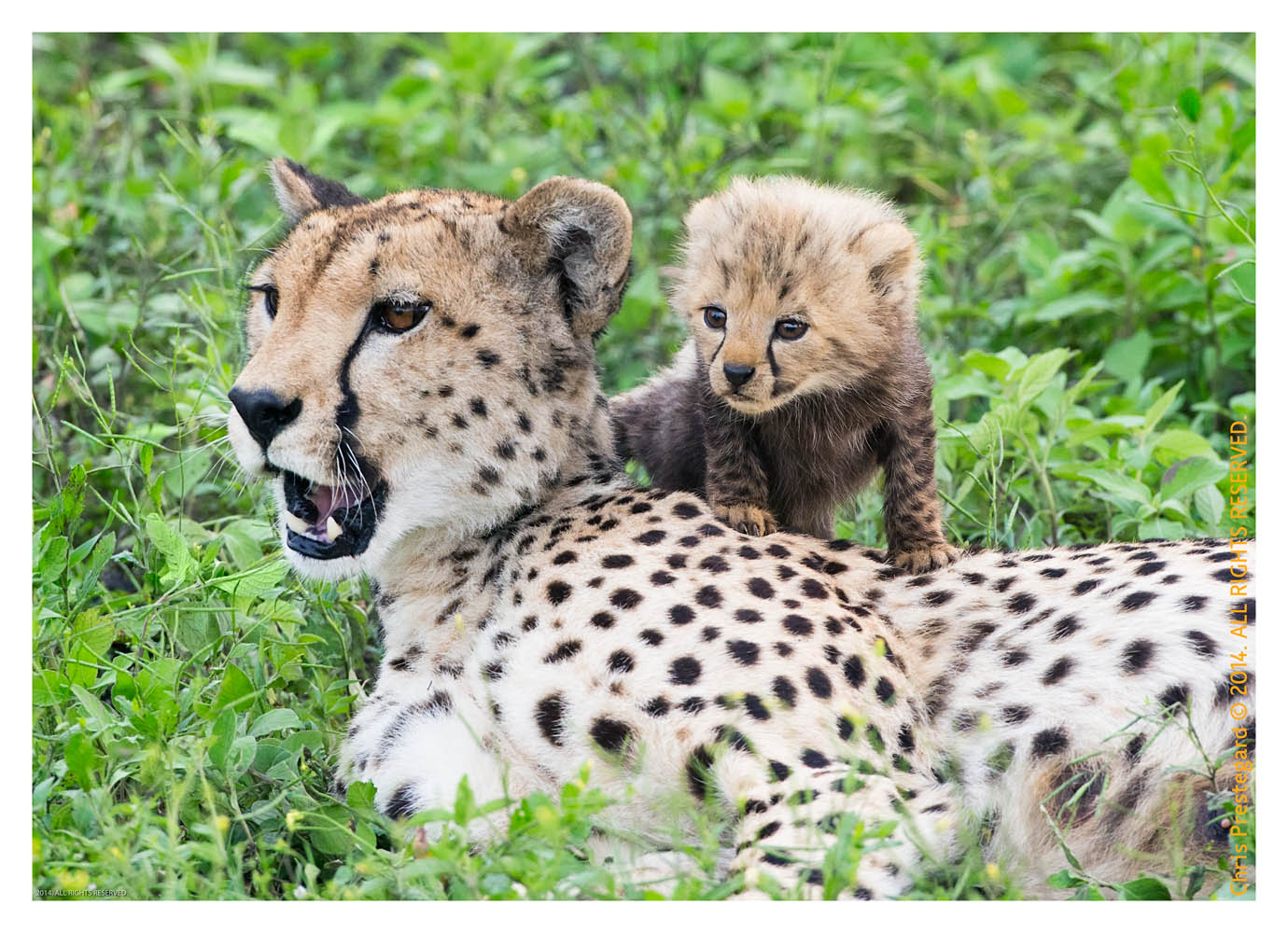CheetahCub6927-Apr22-2014