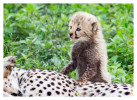 CheetahCub6946-Jun10-2014