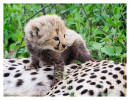 CheetahCub7095_Jun11-2014