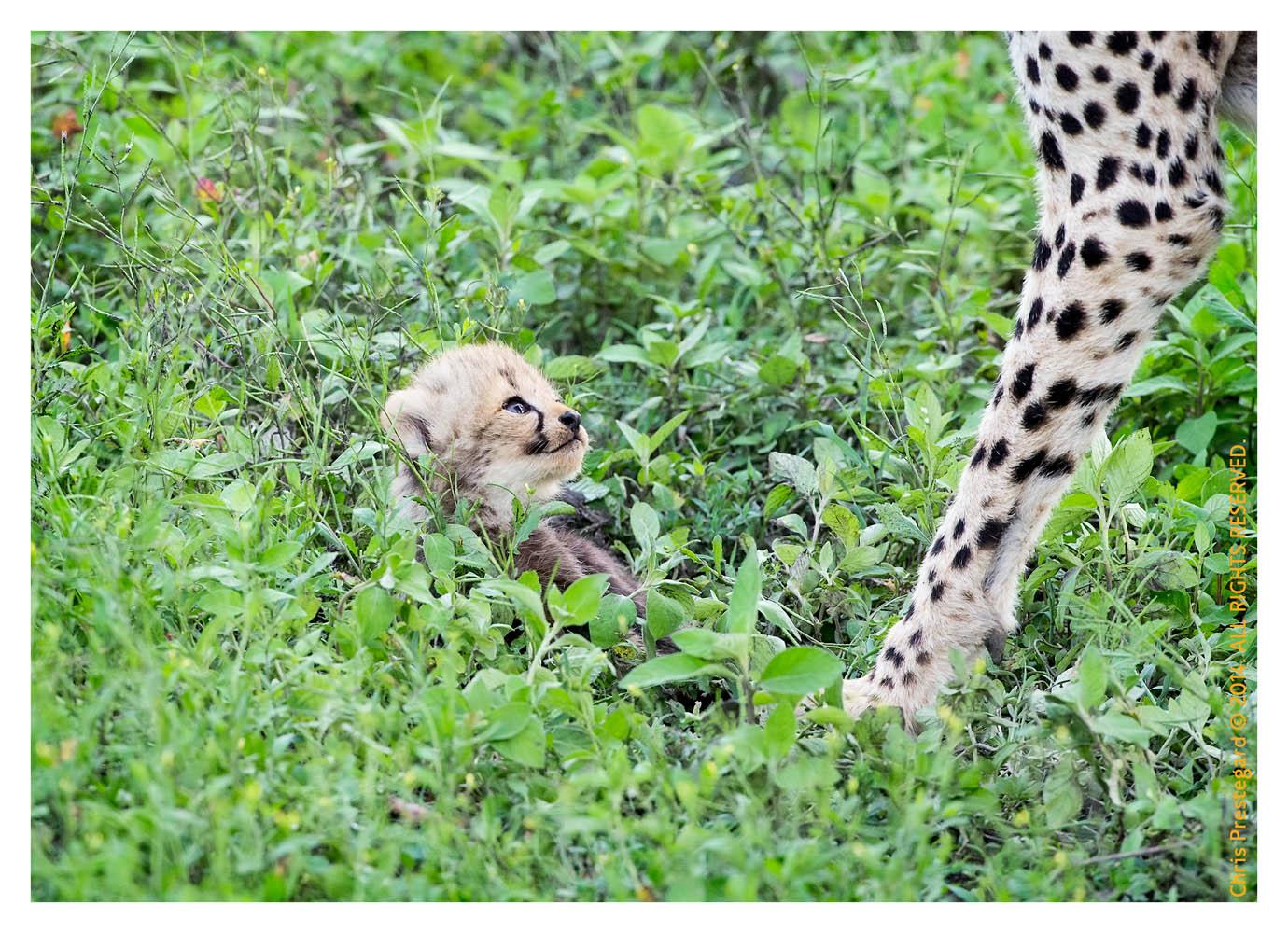 CheetahCub7250-Apr22-2014