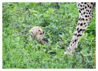 CheetahCub7250-Apr22-2014