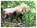 CheetahCub7326-Apr22-2014