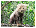 CheetahCub7375-Apr22-2014