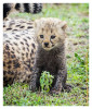 CheetahCub7579-Jun10-2014