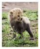 CheetahCub8301-Jun19-2014