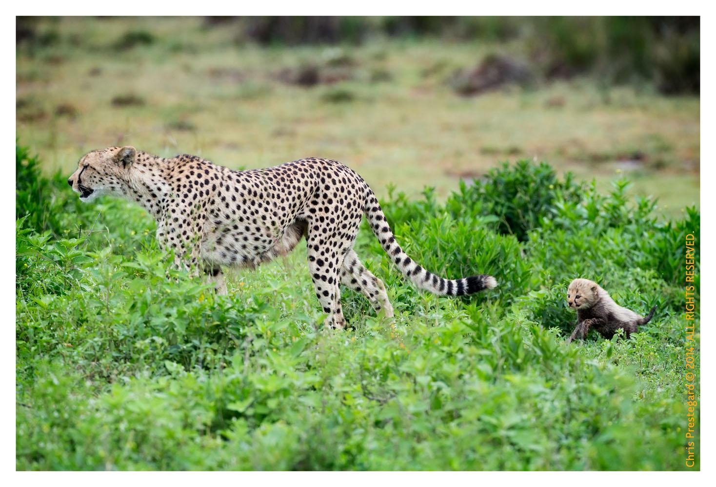 CheetahCub8494-Apr22-2014