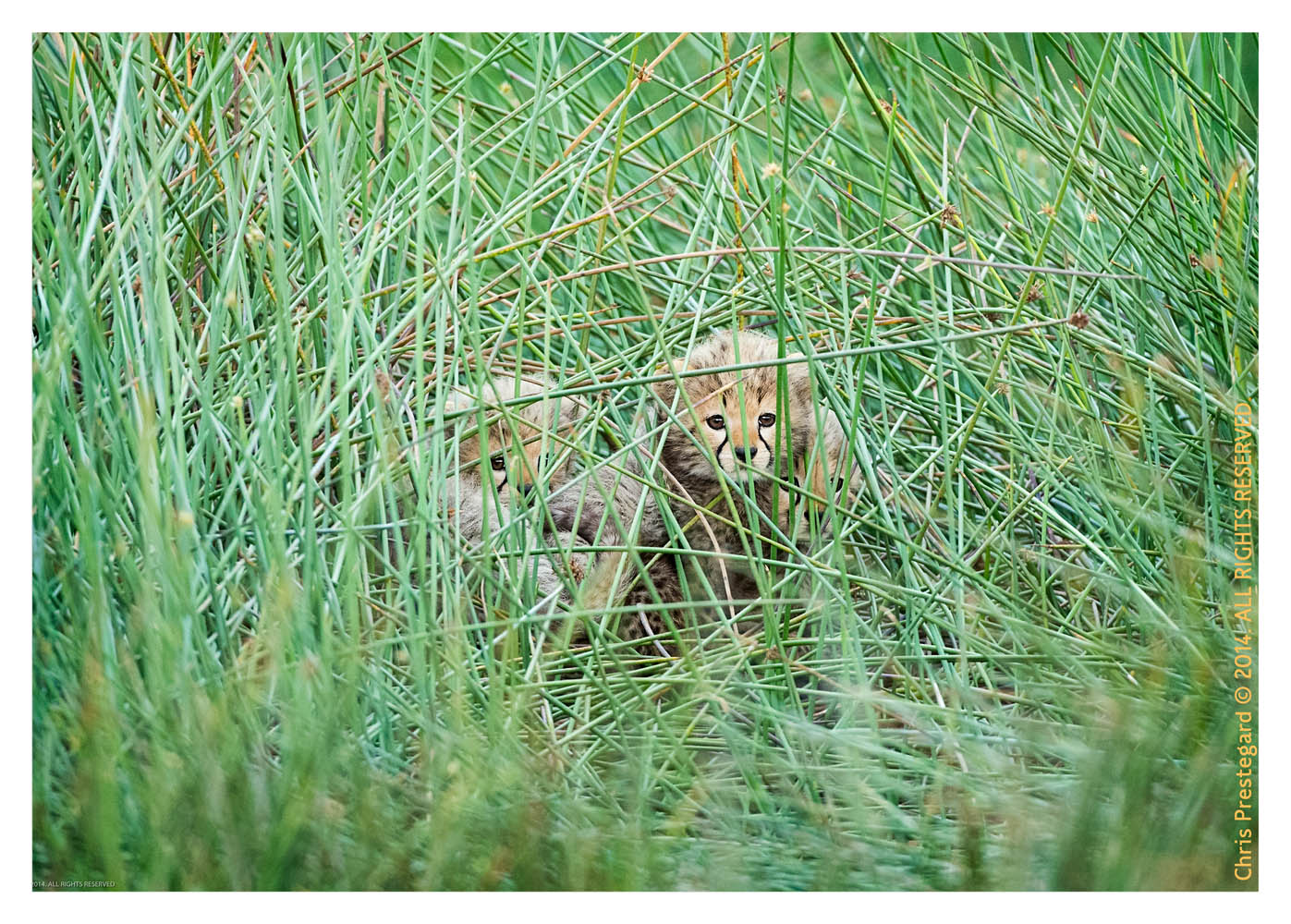 CheetahCubs1005-Jul16-2014