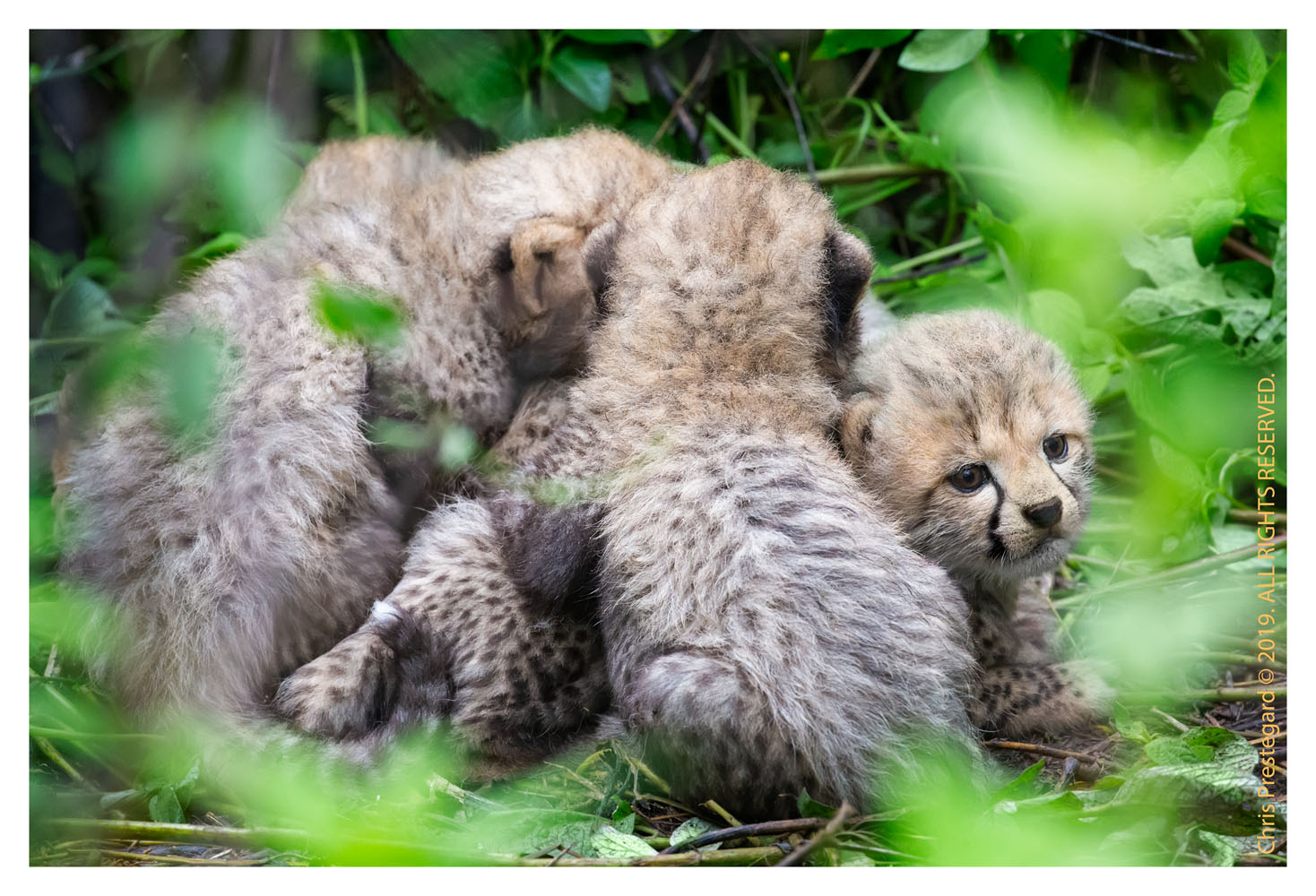 Cheetah cubs at Ndutu, Tanzania Feb. 2019