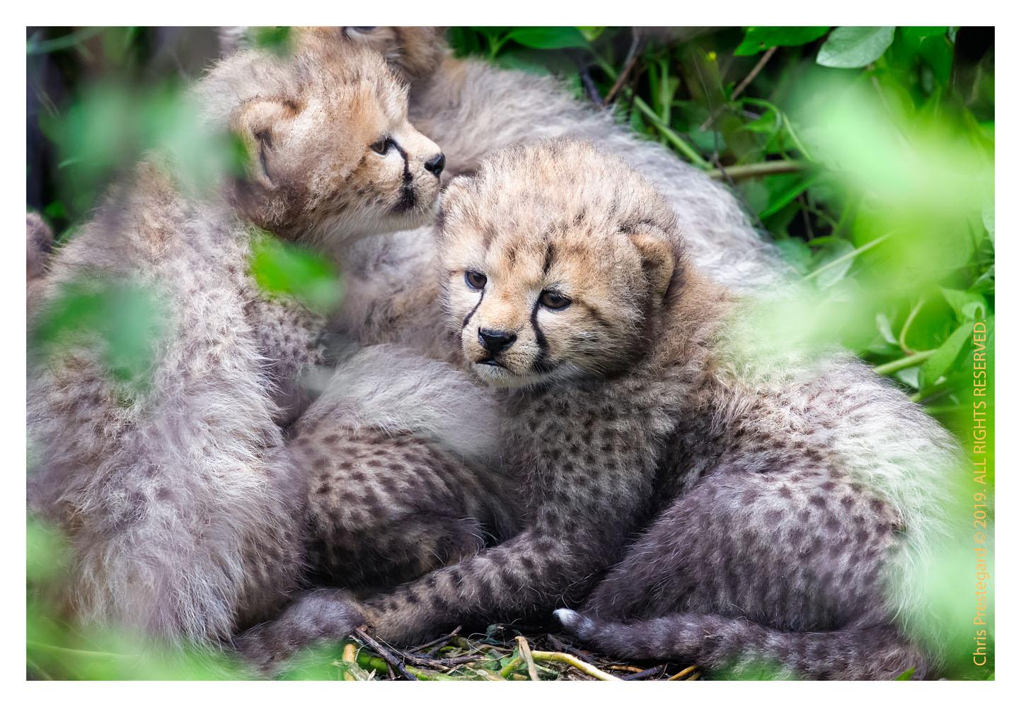 Cheetah cubs at Ndutu, Tanzania Feb. 2019