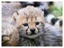 Cheetah cubs at Ndutu, Tanzania Feb. 2016