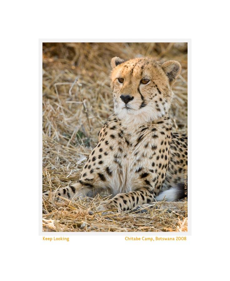 CheetahFamily1952_Aug9-08