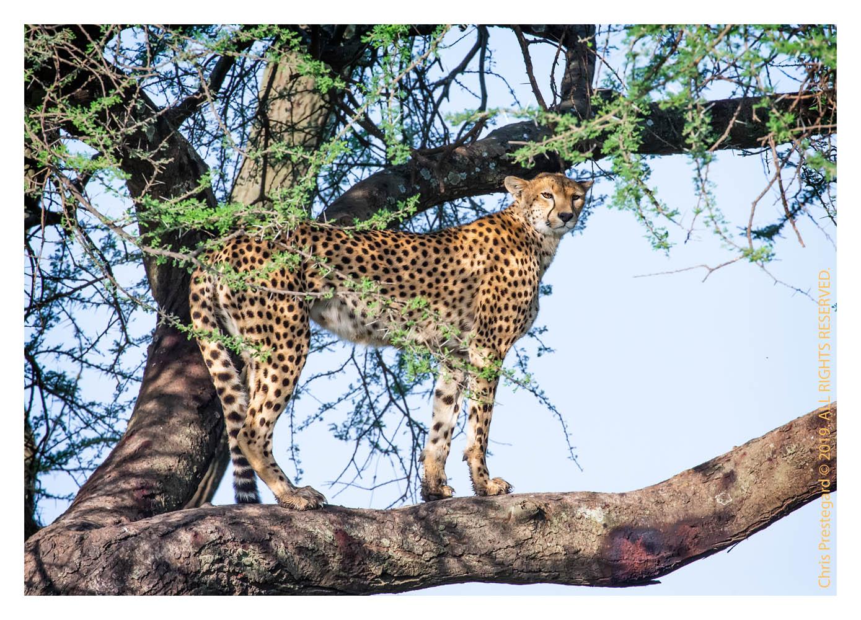 Cheetahs at Ndutu, Tanzania Feb. 2019