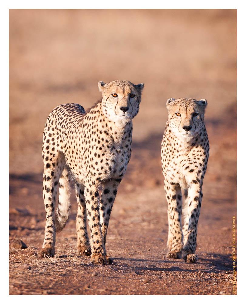 Cheetahs1585Stroll_Aug17-2010