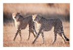 Cheetahs1623Hunt_Aug16-2010