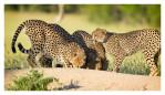 Cheetahs3334B_Apr21-2011