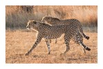 Cheetahs9819Focused_Aug17-2010