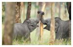 Elephants1715_Jan23-2012