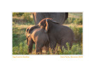 Elephants2042d-Sept27-2011