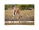 Giraffe1448stretch-Nov23-09