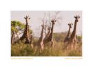 Giraffe1556c_Sept27-2011