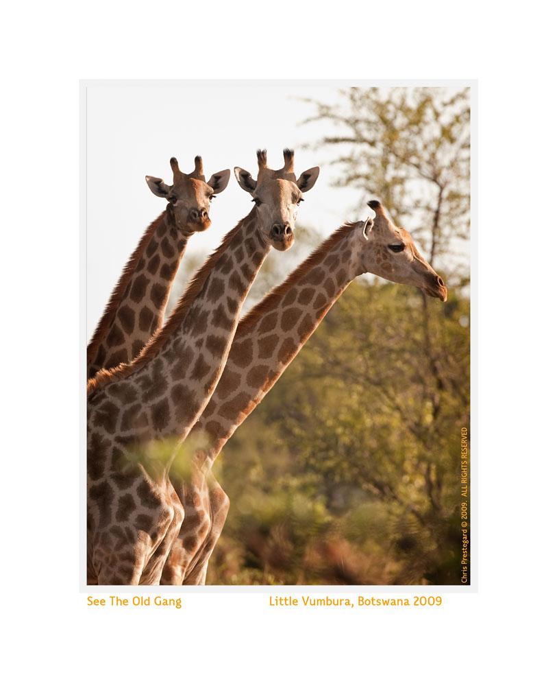 Giraffe1570c-Sept28-2011