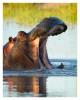 Hippo3571B_Apr21-2011