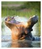 Hippo3630_Apr13-2011