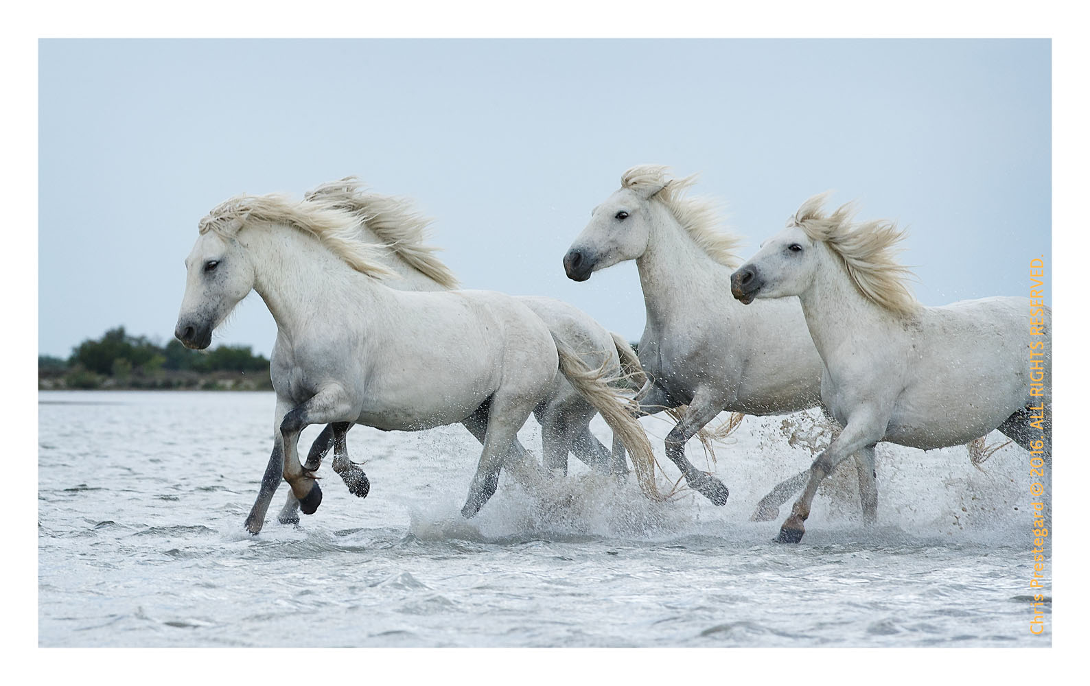 Camargue horses, Aigues Mortes, South of France, June 2016