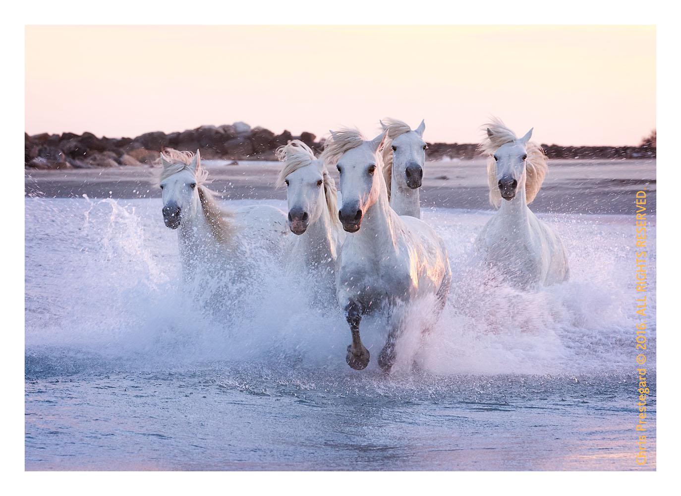 Camargue horses, Aigues Mortes, South of France, June 2016
