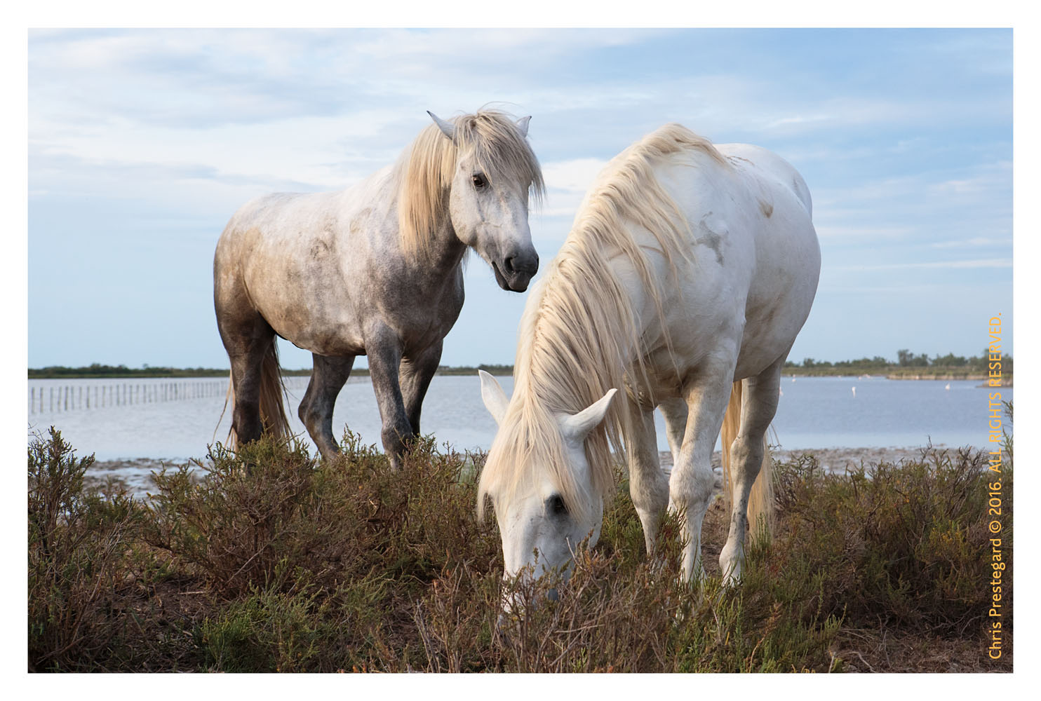 Camargue horses, St. Marie de la Mer, South of France, June 2016