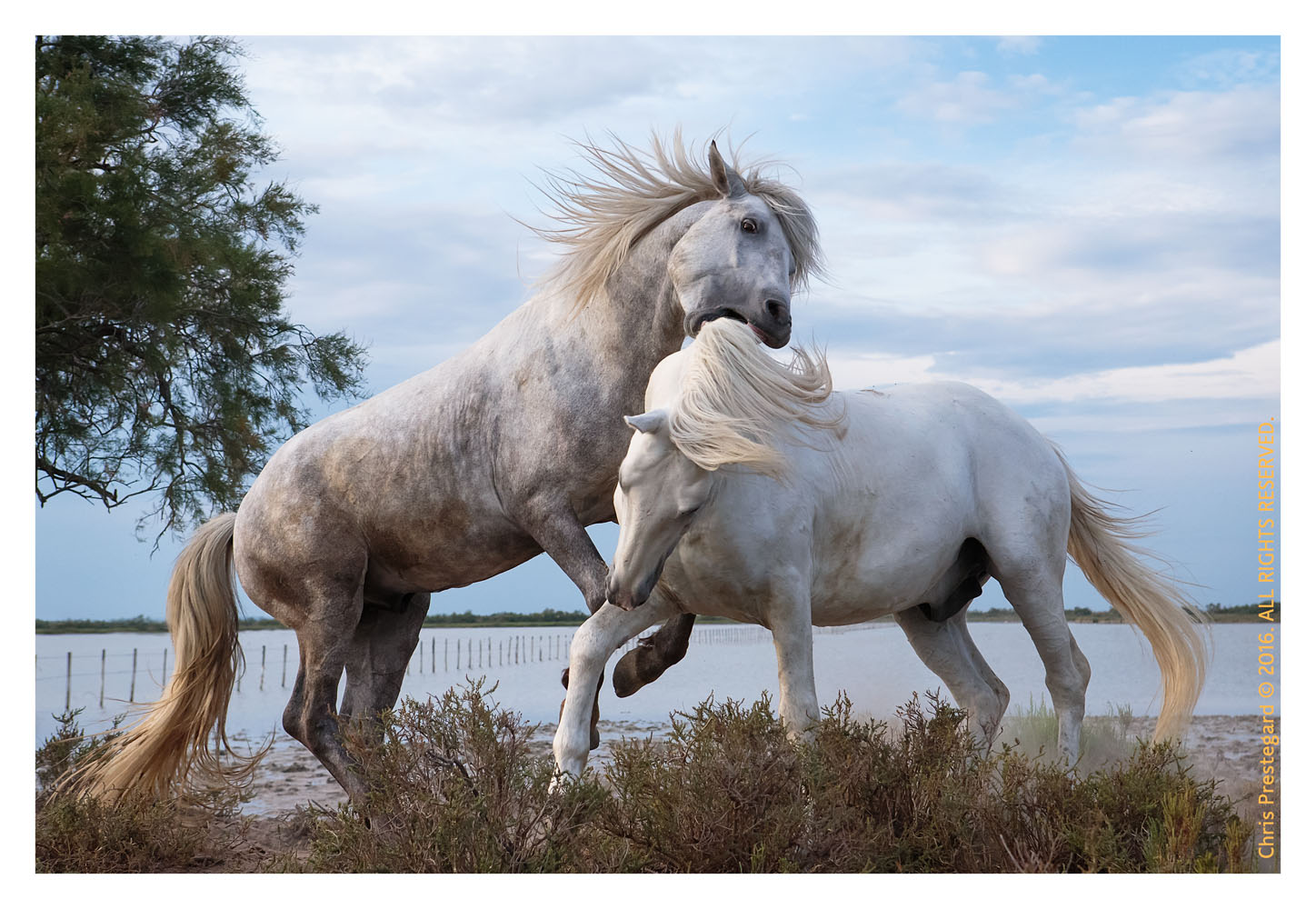 Camargue horses, St. Maries de la Mer, South of France, June 2016