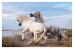 Camargue horses, St. Marie de le Mer, South of France, June 2016
