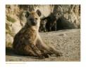 Hyena4920_9-16-07