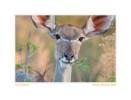 Kudu9968See-Nov27-09