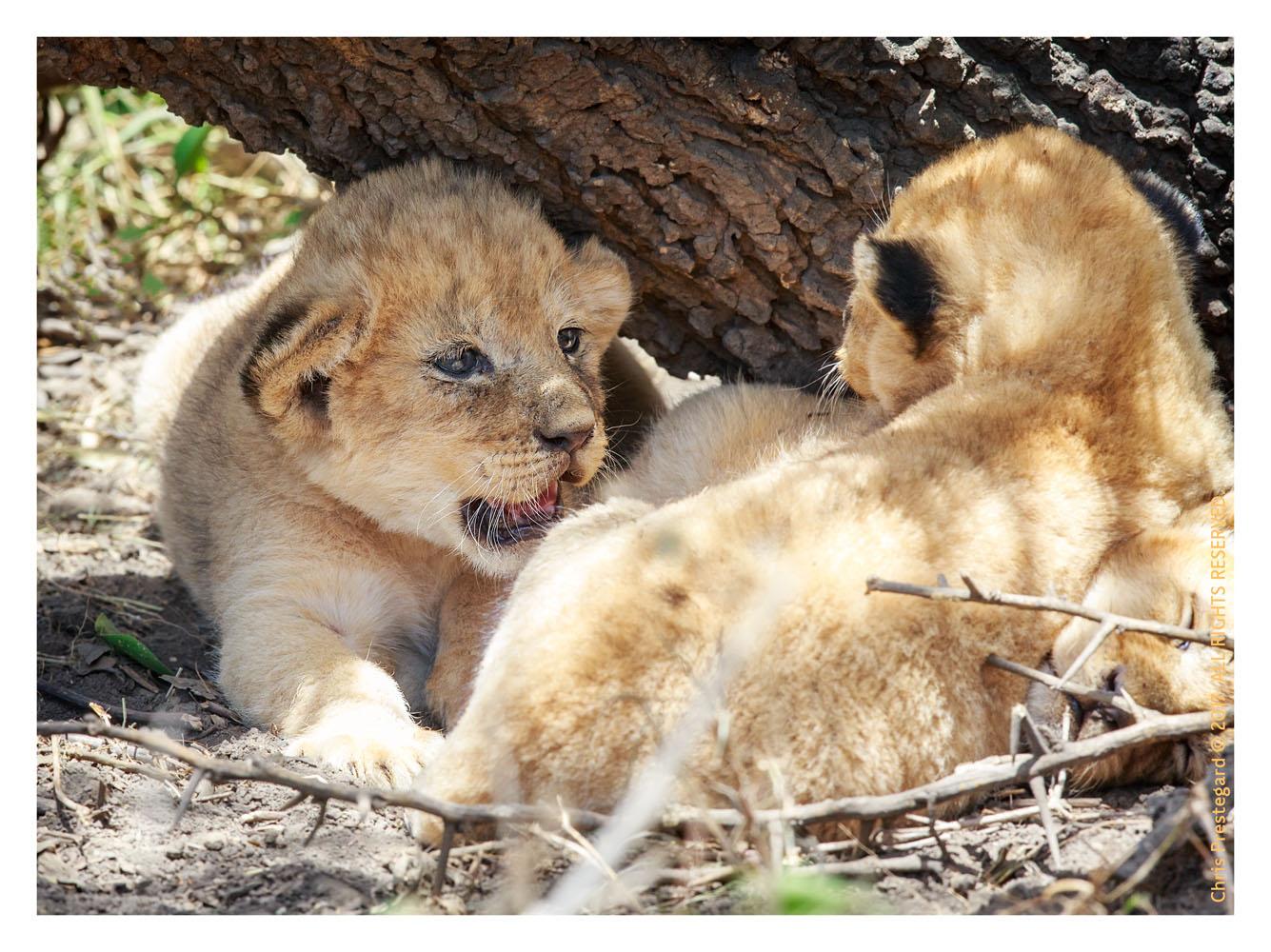 Lions at Ndutu, Tanzania Feb. 2017