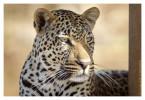 Leopard223b_Aug11-2011