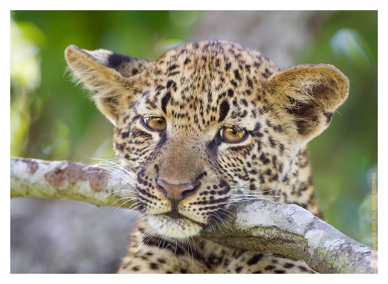 Leopard4333B_Apr21-2011