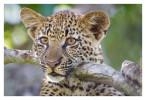 Leopard4423B_Apr21-2011