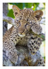 Leopard5002H_Dec12-2011