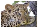Leopard5097B_Apr21-2011