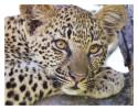 Leopard5102C_Apr21_2011