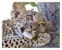 Leopard5139B_Apr21-2011