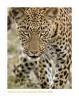 Leopard5644_9-15-07