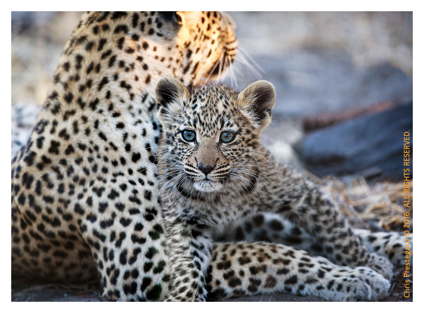 Curious Leopard Cub With Mom, Chitabe Camp, Botswana July 2007